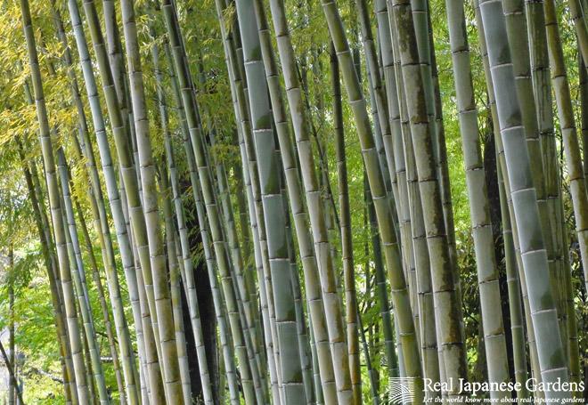 Bamboo in the Japanese garden | Real Japanese Gardens